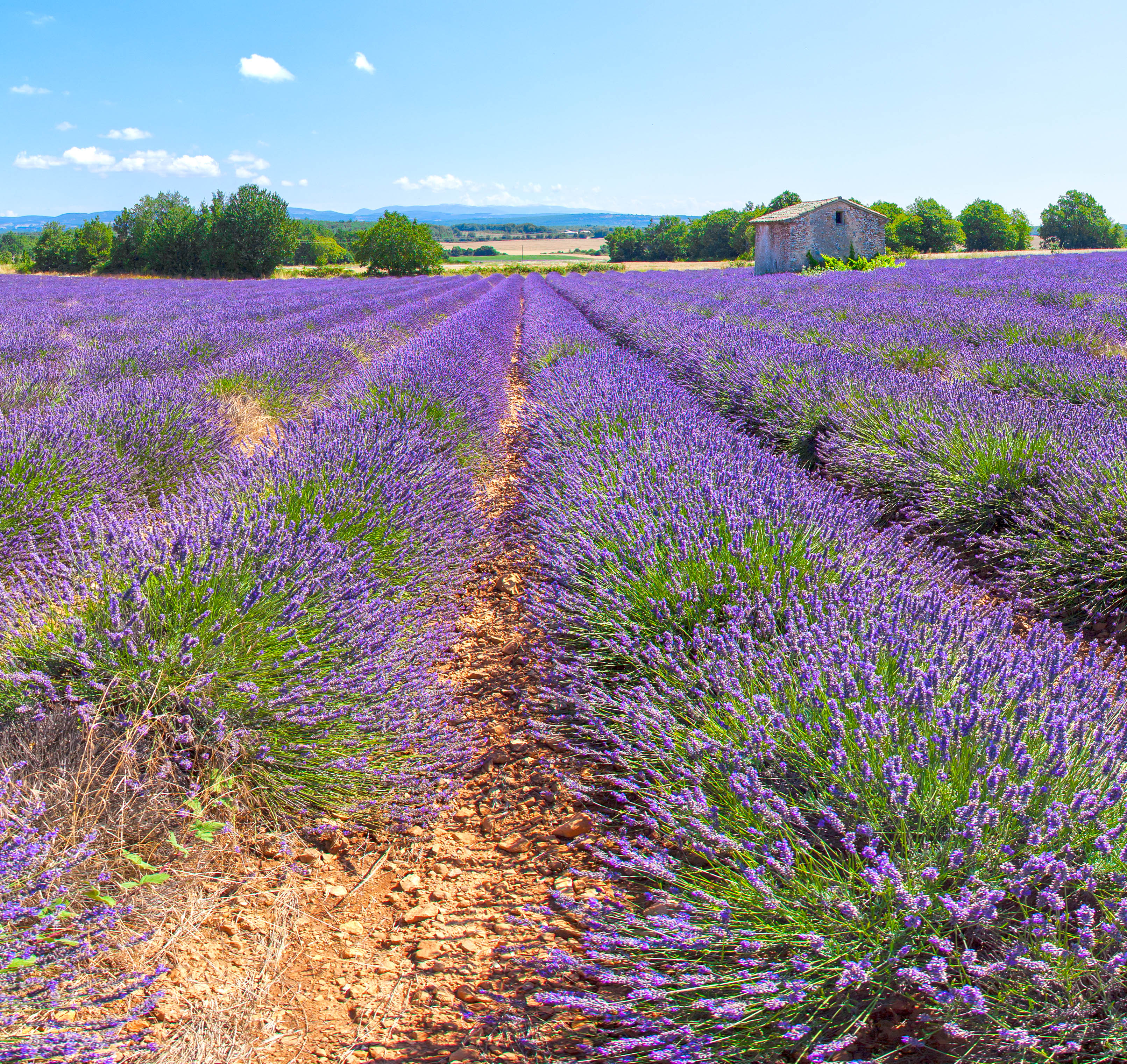 Lavender field in Porvence